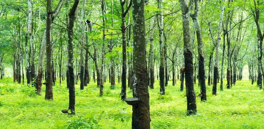 bg-rubber-trees